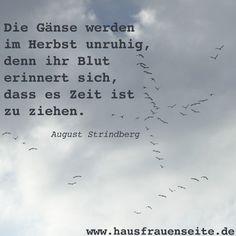 Zitat von August Strindberg über Gänse im Herbst Die Gänse werden im Herbst unruhig, denn ihr Blut erinnert sich, dass es Zeit ist zu ziehen.