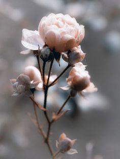 Uta Naumann: Rose im Gegenlicht - Leinwandbilder auf Keilrahmen