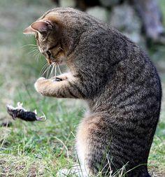 Los gatos tienen la costumbre de jugar con los ratones que atrapan antes de matarlos y comerlos. Mientras los ratones tienen una muerte agonizante en un juego mortal…