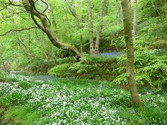 Bluebells and ramsons - also known as wild garlic - in Crimsworth Dean, a short walk from Elmet Farmhouse holiday cottage near Hebden Bridge Hebden Bridge, Wild Garlic, Yorkshire Dales, Walks, Dean, Countryside, Farmhouse, Cottage, Spring