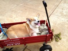 Being lazy and having humans pull them around in wagons  From: 38 Things That Make Corgis Happy