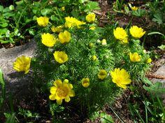 Адонис — яркие солнышки в саду. Уход, выращивание, размножение. Фото - Ботаничка.ru