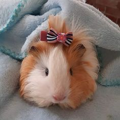 Baby Animals Pictures, Cute Animal Photos, Cute Animal Drawings, Cute Pictures, Cute Guinea Pigs, Guinea Pig Care, Funny Hats, Cute Piggies, Tier Fotos