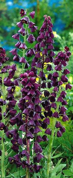 "Persian Fritillaria...bulbs that grow in zone 4... Narrow 30"" stalks of deep purple black bell-shaped blossoms with gold centers in mid-spring. Gray-green leaves add to the dramatic contrast."