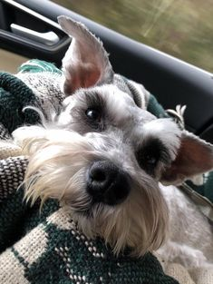 The many things we admire about the Energetic Miniature Schnauzer Teddy Bear Puppies, Miniature Schnauzer Puppies, Schnauzer Puppy, Miniature Dogs, Schnauzers, Best Puppies, Cute Puppies, Cute Dogs, Adorable Cute Animals