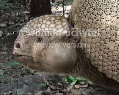 glyptodont google search animal picturesmarvel