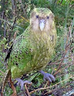 The Kakapo Parrot of New Zealand, Strigops habroptilus also called Owl Parrots. They are large, flightless, nocturnal, ground dwelling parrots that live in New Zealand. It is the world's only flightless parrot. Flightless Parrot, Kakapo Parrot, Rare Birds, Exotic Birds, Colorful Birds, Yellow Birds, Blue Bird, Pretty Birds, Beautiful Birds