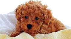 Poodle Puppy Pictures Information Toy Poodle Puppies, Poodle Mix, Cute Puppies, Dogs And Puppies, Toy Poodles, Brown Puppies, Maltese Poodle, Cute Dogs Images, Teddy Bear Dog