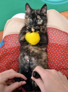 Stockton is a Partially Paralyzed Tortie Cat (back legs) Is Determined To Walk Again. Here, Amber, a helper at the rescue centre where Stockton is, massages her feet. I Want this little kitty!