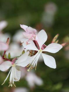Gaura Plant, Alpine Garden, Ranunculus, Geraniums, Garden Plants, Flora, Garden Ideas, Gardening, Flowers