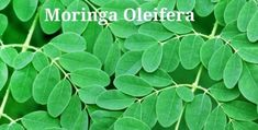 Scientists have reported that a hot-water extract of the leaves of Moringa Oleifera killed up to of human pancreatic cancer cells after 72 hours in lab tests. Moringa leaf extract inhibited the growth of. [read more] Natural Cancer Cures, Natural Cures, Natural Healing, Miracle Tree, Moringa Leaves, Leaf Background, Healing Herbs, Natural Medicine, Moringa Oleifera