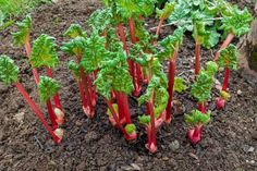 Rhubarb is an incredibly versatile food that can be roasted, baked, stewed, or boiled. Find out how to grow this wonderful vegetable for endless recipes. Transplanting Plants, Perennial Vegetables, Growing Vegetables, Perennial Plant, Planting Vegetables, Growing Rhubarb, How To Grow Rhubarb, Growing Spinach, Gardens