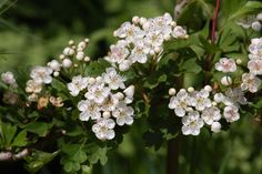 May is the time to harvest hawthorn flowering tops for teas, tinctures, elixirs and anything else you fancy. It is usual to pick a little bunch of the blossom, either just before or just after opening, with the first few leaves attached, as both blossom and leaf have important medicinal constituents.