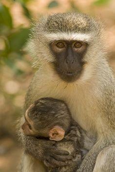 Africa | Vervet Monkeys © Nomad Africa Adventure Tours.