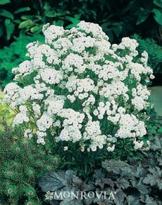 "Gypsy White Yarrow - Monrovia - Gypsy White Yarrow - achillea ptarmica 'gypsy white'  - 10-14"" h x 12-14"" w - semi-trailing habit - attracts butterflies - mass plantings, containers"
