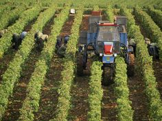 Grape Harvest, Vineyards Near Macon, Burgundy (Bourgogne), France
