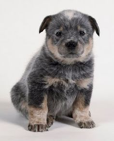 Australian Cattle Cute Dog. This is just to stinking cute!  I can't hardly wait for my next ranch buddy!