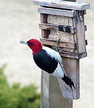 Major info in this article: Don't offer Suet to birds once winter passes.