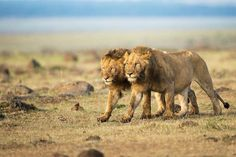 Stunning Photos From National Geographic's Traveler Photo Contest 2014 - Masai Mara, Kenya Lion Sketch, Black Lion, Male Lion, Game Reserve, Fauna, Photo Contest, Big Cats, National Geographic, Animal Kingdom