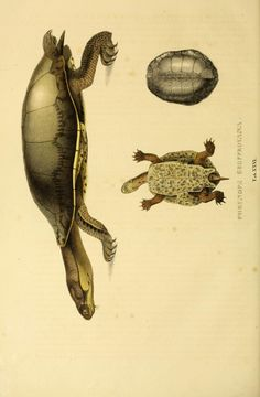 Descriptiones et icones amphibiorum. - Biodiversity Heritage Library