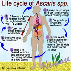 Life cycle of Ascaris lumbricoides- an estimated 807-1,221 million people in the world are infected
