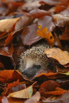 Hedgehog in autumn   von Arterra Picture Library via Artflakes