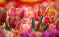 Pink and orange tulips wallpaper 1920x1200 jpg
