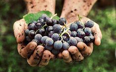 Qu'est ce que le vin bio ? Agriculture Durable, Agriculture Raisonnée, Pinot Noir, Black Grapes, Organic Wine, Wine Sale, In Vino Veritas, Wine Tasting, Raisin