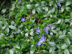 Low maintenance, adaptable and tough, these groundcovers are good choices where nothing else seems to survive. Mondo Grass, Landscaping Plants, Plants, Evergreen Groundcover, Creeping Myrtle, Vinca Minor, Perennials, Cottage Garden, Shade Garden
