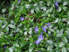 Pikkutalvio on itse asiassa varpu. Sillä on puolukkaa muistuttavat paksut lehdet. Kukat valkoiset, siniset tai violetit. Lehdistä olemassa myös kelta-vihreä muoto. Rönsyilevä ja nopeakasvuinen: muodostaa yhdessä kesässä kauniin vihreän maton.