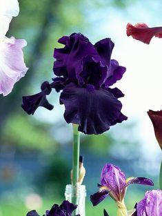 bearded iris perfect pitch flower in glas bottle Beautiful Gardens, Beautiful Flowers, Growing Irises, Iris Rhizomes, Beard Colour, Beard Designs, Beard Tips, Painting The Roses Red, Beard Model