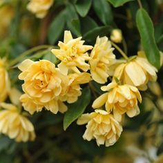 Rosa banksiae 'Lutea' - banksian rose (rambler) Flowering period: April to June Position: full sun Soil: fertile, humus-rich, moist, well-drained soil Rate of growth: average to fast-growing Hardiness: frost hardy (needs winter protection) Clematis Armandii, Ronsard Rose, Yellow Plants, Rose Bush, Buy Roses, Climbing Roses, Yellow Flowers, Rose Flowers, Colour Yellow