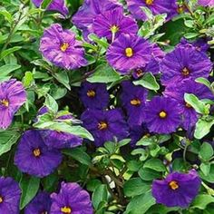 Royal Robe Paraguay Nightshade Needs elbow-room, but a spectacular shrub to plant where you can admire the large, fragrant flowers, summer through autumn. Fast, reaches up to 8 ft. Garden Shrubs, Flowering Shrubs, Garden Pests, Fast Growing Shrubs, Growing Tree, Small Yard Landscaping, Landscaping Ideas, Inexpensive Landscaping, Florida Landscaping