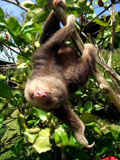 cutest baby sloth ever! (at the toucan rescue ranch in costa rica)