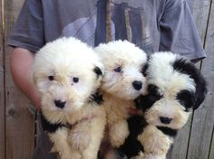 Old English Sheepdog Guide – Learn About the Old English Sheepdog