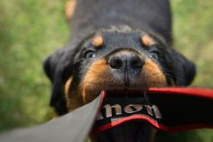 Rottweiler puppie by tg_uk, via Flickr