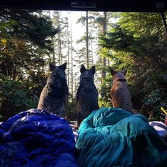 @west_coast_heeler_pack always takes in the best views. #campingwithdogs by campingwithdogs