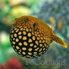 Starry Puffer. I will huff & puff until I blow your coral down
