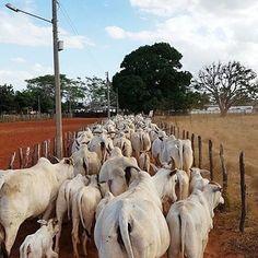 Bom dia! A quinta-feira já começou bem cedo e o gado já está na ativa! ⠀ Foto: @nelorenordeste @agropecuaria_j.franca ⠀  #NeloreNordeste #Nelore #pecuaria #ABCZ #PMGZ #zebu