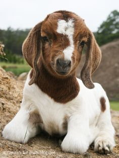 Baby Boer goat. Such a cuite!
