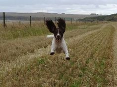 If you're happy & you know it, jump for joy 🐶🐶🐶🐶 Cute Puppies, Cute Dogs, Dogs And Puppies, Doggies, Springer Spaniel Puppies, English Springer Spaniel, Best Dog Breeds, Best Dogs, Animals And Pets