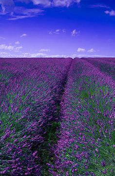 Love these fields. Especially beautiful in California! These are the Provence lavender fields Lavender Blue, Lavender Fields, Lavender Cottage, Lavender Garden, Beautiful World, Beautiful Places, Beautiful Pictures, Belle Image Nature, Valensole