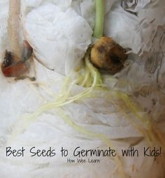PLANTS CH Here are the results of our seed germination for kids science experiment! Find out what seeds are best to grow with kids, indoors, without soil. And some neat activities with sprouting seeds too! Science Experiments Kids, Science For Kids, Science Projects, Science Lessons, Science News, Kindergarten Science, Science Classroom, Teaching Science, Kids Learning Activities
