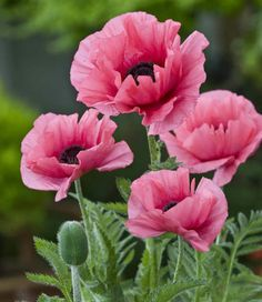 Noted for its luminous blooms, Oriental Poppy 'Burning Heart' (Papaver Orientale) produces semi-double, crepe papery, bright reddish-pink flowers with dark purple eyes and reddish centers.