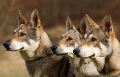 SAARLOOS WOLFHOND/DUCH WOLFHOND Czechoslovakian Wolfdog, Saarloos, Dogs And Puppies, Doggies, Wolf Girl, Husky, Corgi, Wolf Dogs, Fox