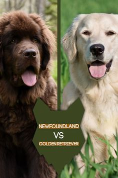 Like most working dogs, both the Newfoundland and the Golden Retriever were created to accommodate a need with the humans living with these breeds. Lets looks at comparisons between these two great breeds. German Dog Breeds, Giant Dog Breeds, Giant Dogs, Large Dog Breeds, Large Dogs, Best Guard Dog Breeds, Best Guard Dogs, Best Dogs For Families, Family Dogs