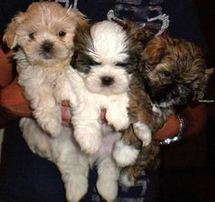 teddy bear puppies | Teddy Bear Puppies | Dog & Puppy Site