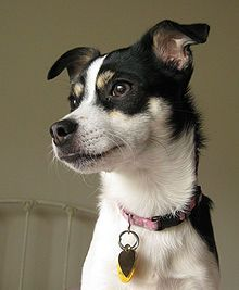Rat Terrier  This looks like our new baby!!!