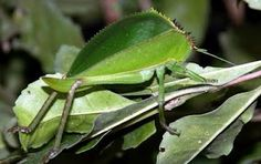 pictures of insects - Bing Images Rainforest Insects, Amazon Rainforest, Weird Insects, Bugs And Insects, Pictures Of Insects, Amazon River, Ants, Plant Leaves, Madagascar