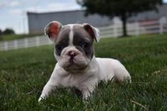 Puppies for Sale | Buckeye Puppies Cute Boxer Puppies, Puppies For Sale, French Bulldog, Dogs, Animals, Animales, Animaux, French Bulldog Shedding, Animal Memes